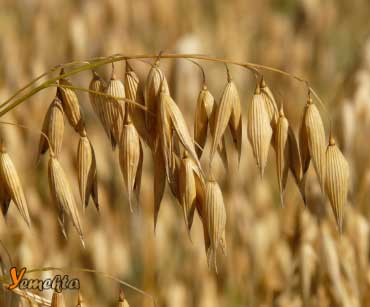 Yulaf, beslenme piramidinde, tahıllar (karbonhidratlar) grubu içinde yer alıyor.