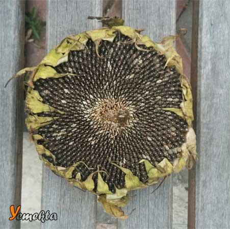 Marmara Bölgesinin Yemek Kültürü içerisinde yer alan ayçiçeği görseli.