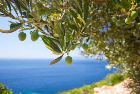 Akdeniz Bölgesi Yemek Kültürü - Resimde, Akdeniz bölgesinde yetişen zeytin ağacı ve zeytin görselleri var.